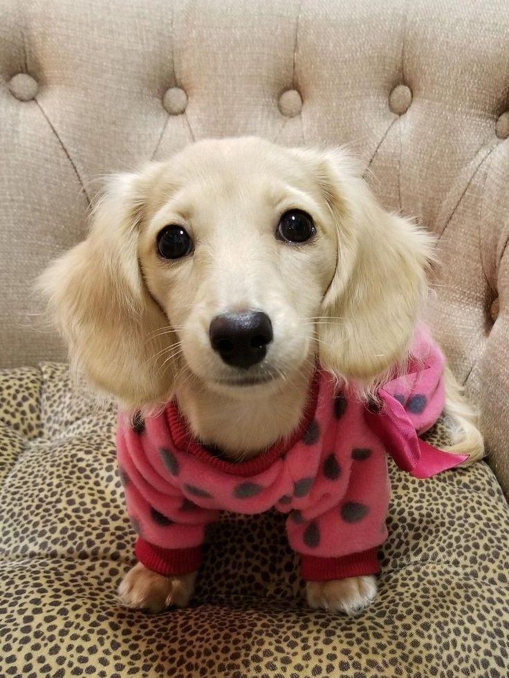 English Cream Miniature dachshund puppy. Instagram Gerde