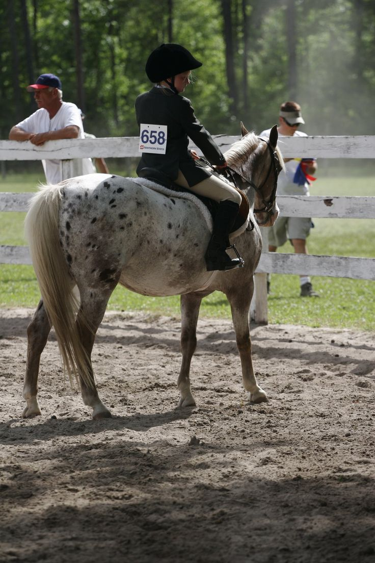 best images about small horses ic horse pony of the americas leopoard pony of the americas poa show pony engish by