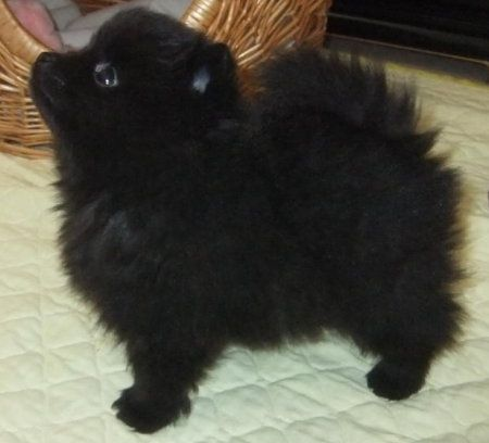 female Champion sired pomeranian puppy available very soon.