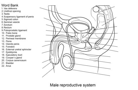 Male Reproductive System Worksheet coloring page from Anatomy category. Select from 20946 printable crafts of cartoons, nature, animals, Bible and many more.