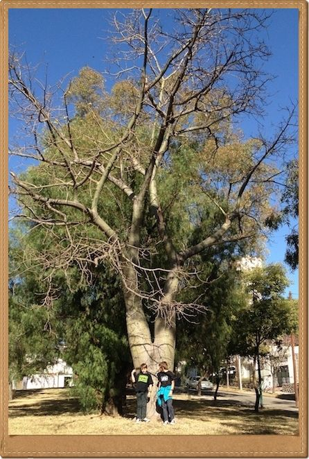 When I was visiting friends in Cordoba, Argentina recently I came across this tree that looked so much like a baobab that I thought it must be some relation.  When I looked it up, I found it was indeed part of the same family as the Baobab Malvaceae. Its scientific name is Ceiba speciosa commonly …