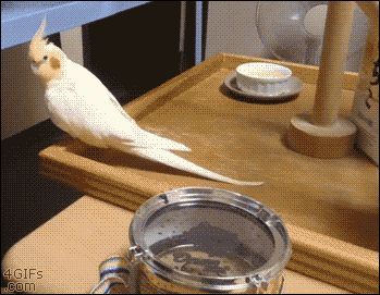 Cockatiel uses his beak to play toy drum with his owner. [video]