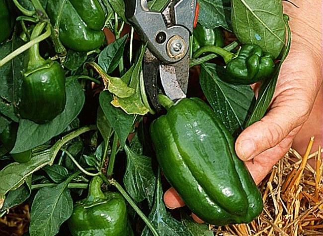 Planter le poivron