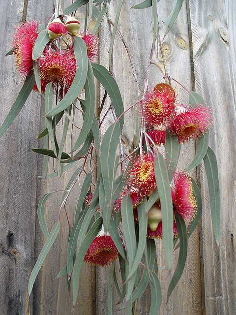 "Ornamental weeping gum with white trunk and large red flowers that are produced in spring. Flowers from a mature ""Silver Princess""."