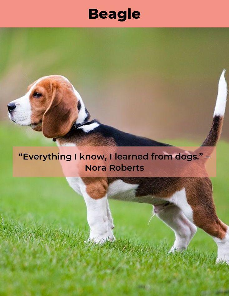 Beagle Dog Beaglebaby Beagles Facts Beagle Puppy Beagle Facts