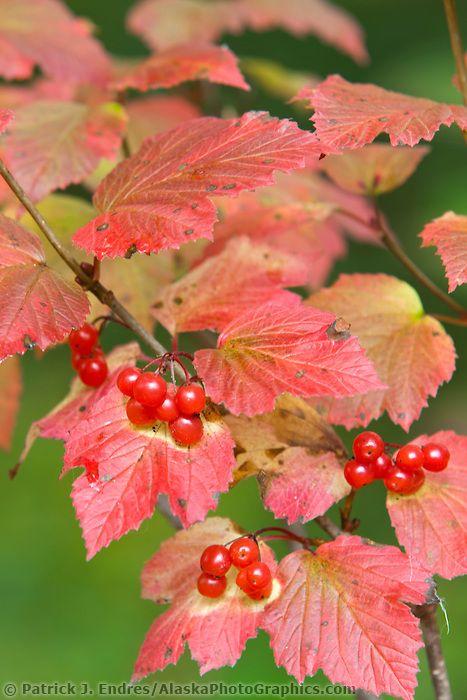 ripe, red, high bush cranberries, Prince William Sound, Alaska   Patrick J. Endres