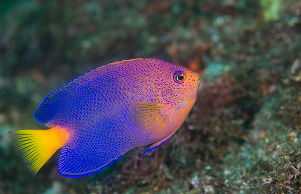 519 best images about fish pomacanthidae marine for Hawaiian fish names
