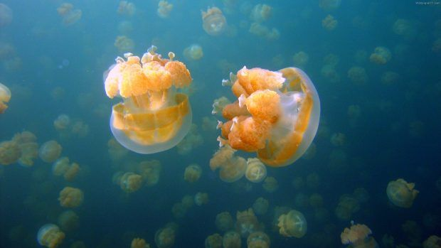 Download Free Jellyfish Image.