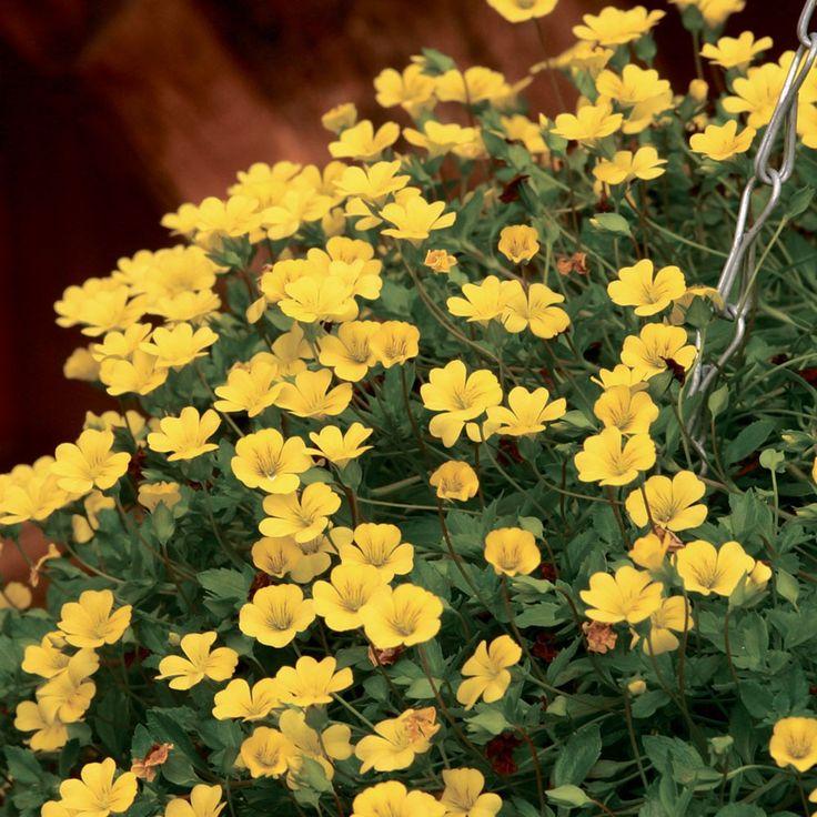 Bacopa Yellow Macedonia