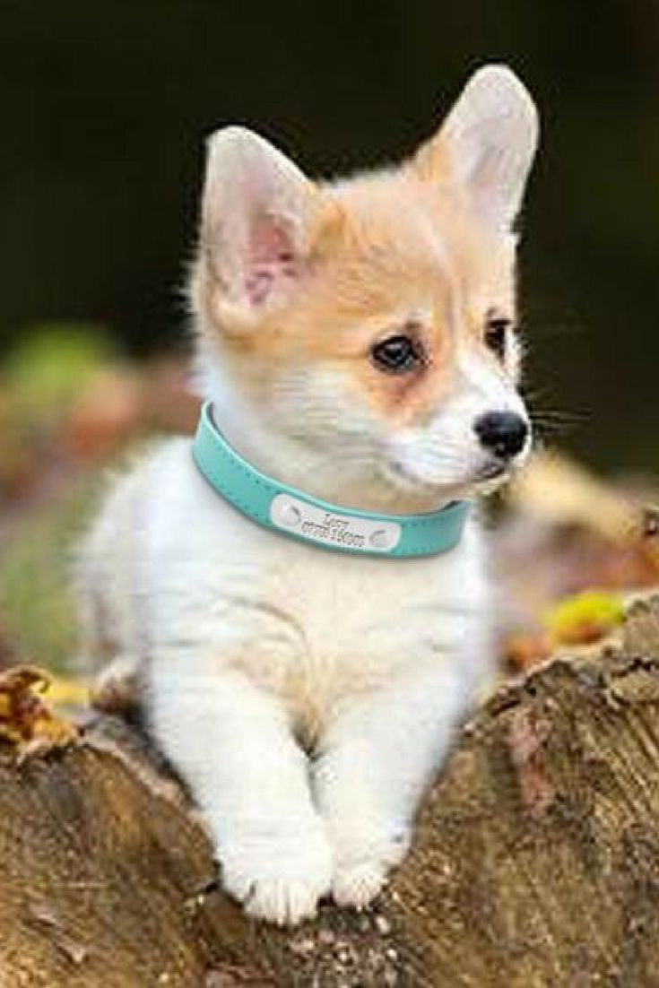 Available in three colors, this genuine leather dog collar has an attached nameplate, which is personalized with your dog's name; along with your contact number. Dog Accessories, Collars & Leashes. #DogLovers
