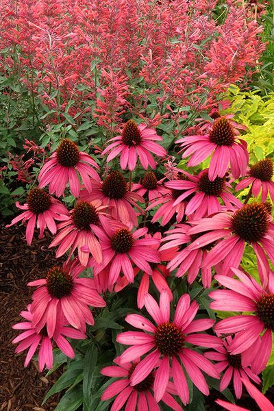 Echinacea 'Amazing Dream'  - This coneflower is a scene-stealer. It has irridescent flowerheads that are made up of chunky hot pink petals, which surround a broad orange eye. These look amazing with clashing purples, red and yellows, or they can be toned down with softer pinks. Bees love them and they are also good for cutting.