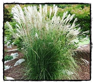 Adagio Dwarf Maiden Grass See The Plant Information
