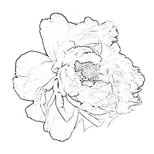 Peony Flower Drawing | Sketch of Flower: Peony Drawing