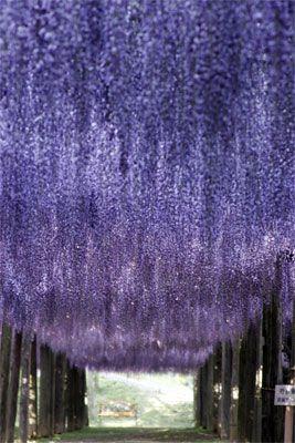 Wisteria tunnels at Kawachi Fuji Garden, Fukuoka, Japan