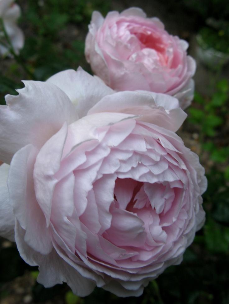 86 best david austin roses images on pinterest david. Black Bedroom Furniture Sets. Home Design Ideas