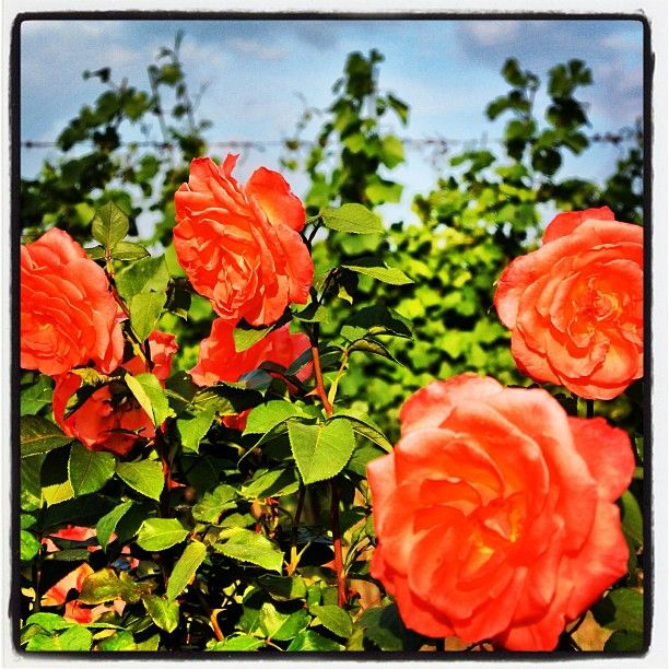 Le rose vicino ai vigneti. #roncocalino #franciacorta #vino #wine #italianwine #rose #rosa #roses #nature #natura #colour #vineyards #vine #vigneti #vigna #orange #love #like #instapic #instawow #instawine #instalike #instalove #picoftheday #lovewine #winelovers #winepic #green""