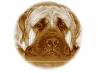 Tailcreek Mastiffs - English Mastiff breeders in Alberta, Canada - Home