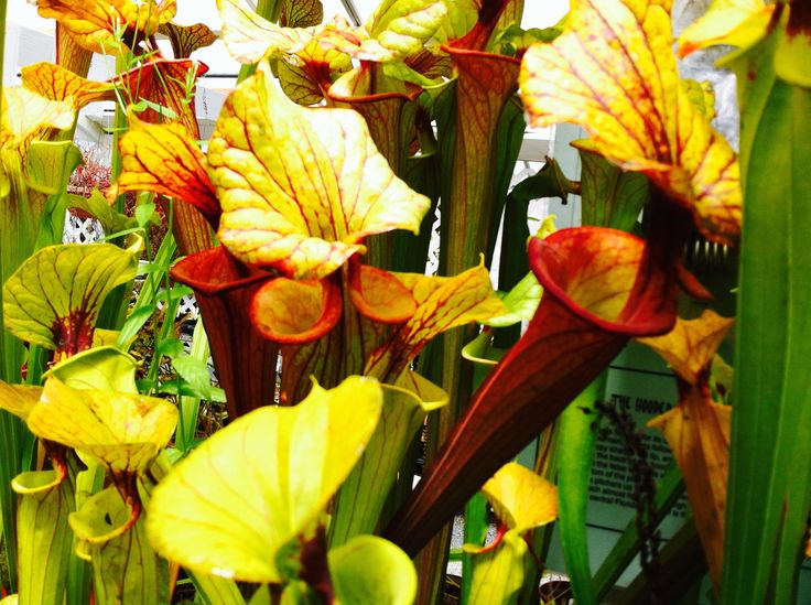 Golden and red Tropical Pitcher Plants eat insects for food.