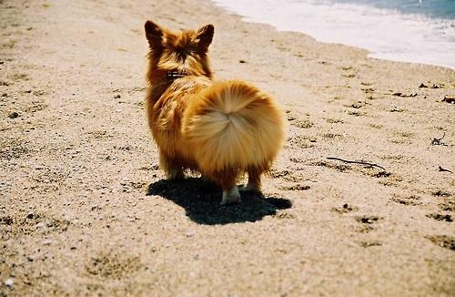 Windy day corgi: Windblown Corgis Butt