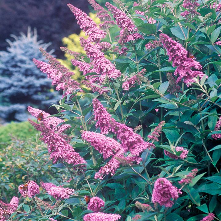 Buddleia Plant - Butterfly Heaven - All Perennial Plants - Perennial Plants - Gardening - Suttons Seeds and Plants