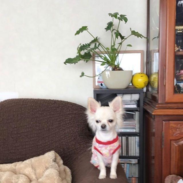 いつも、このソファーの肘掛けから見下ろしてるこーくん🤔 きーちゃんとくろを監視してます🤣🤣 #チワワ#ロングコートチワワ#愛犬#愛犬バカ#ペット#大切#宝物#家族#chiwawa#chihuahua#mylove#chihuahuasofinstagram#chihuahua#pet#family#dog#dogstagram #petstagram#pets_of_instagram#folowme#l4l
