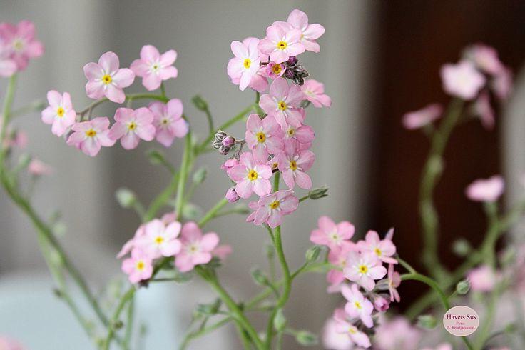 forglemmigej - mygarden - minhave - blomster - flowers - flower - blomster - havetssus - havets sus