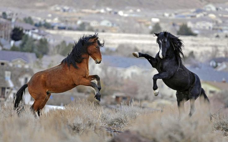 Swollen populations of federally-protected wild horses roaming 10 Western states are starved and damaging rangelands, Utah and U.S. government officials said at a conference Wednesday, an invitation-only meeting that mustang-protection advocates say is promoting the slaughter of an icon of the American West.