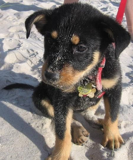 Giant+Rottweiler+Husky+Mix | Husky Rottweiler Mix Puppies | Pomsky Picture