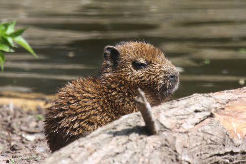 wet baby capybara <3
