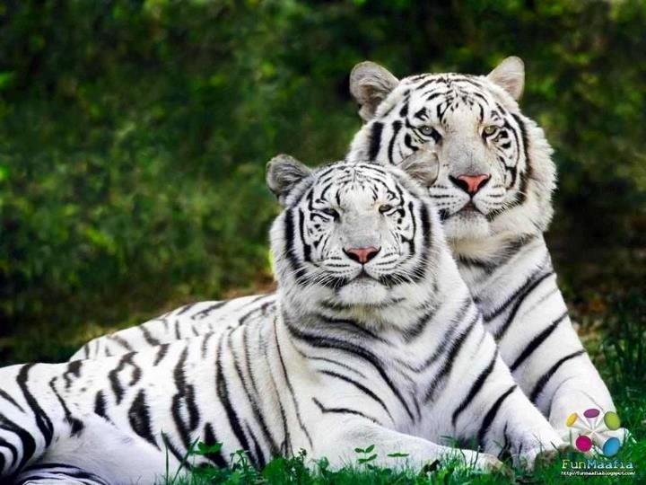 white siberian tiger - photo #14