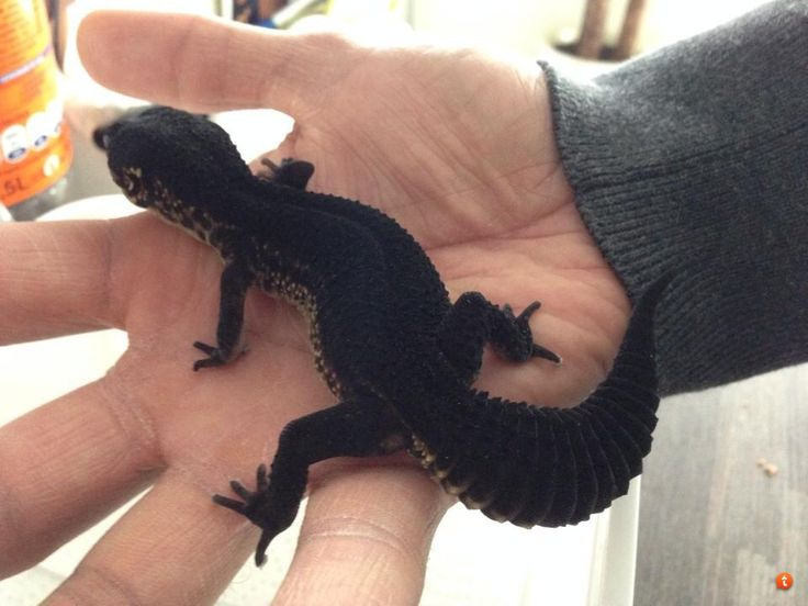 Black pearl. I'd give me right leg for this gecko ... - photo#14