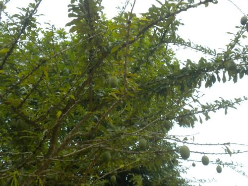 Calabash tree taken in my home town!