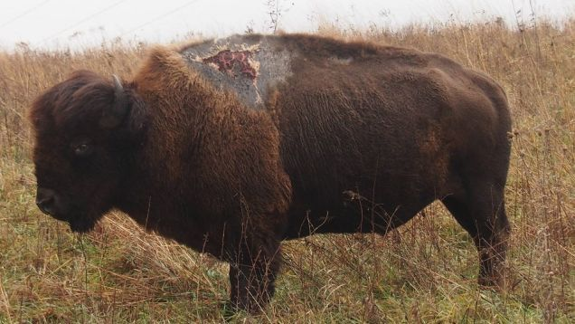 This Bison Was Struck by Lightning and Emerged Ugly But Alive