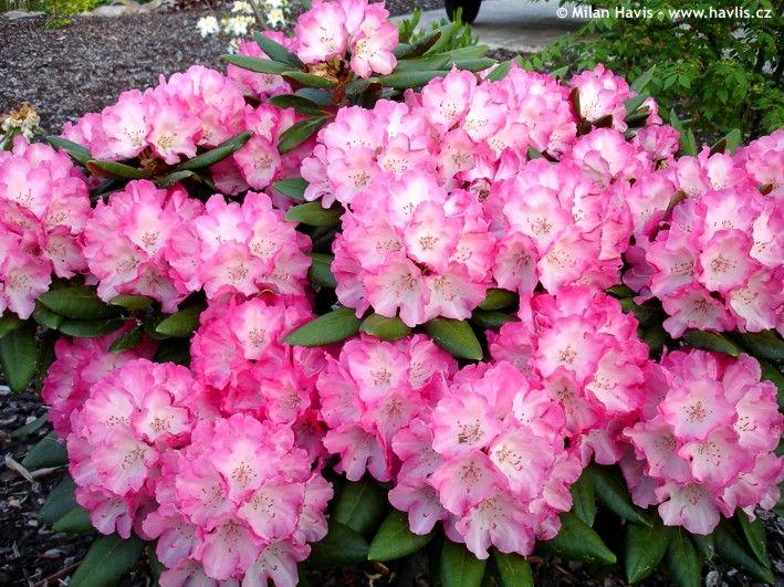 "Rhododendron (Yakushimanum) ""FANTASTICA"""