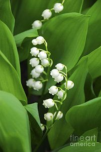 Lily-of-the-valley by Elena Elisseeva