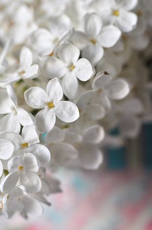 White lilac ~ Syringa  I love lilacs!    I'd love a wall of every color!