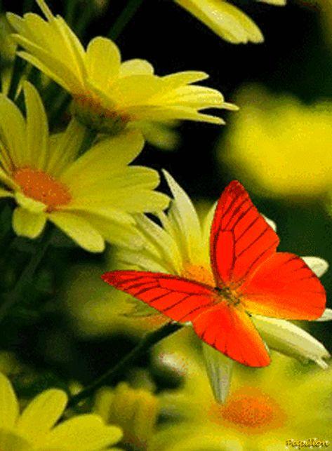 La mariposa posada en las margaritas amarillas .