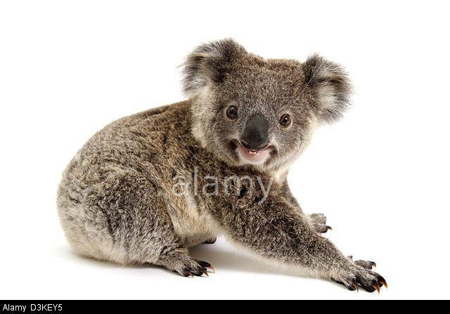 Koala in a studio