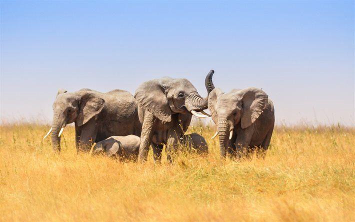 Télécharger fonds d'écran Les éléphants, Afrique, faune, un champ, une famille d'éléphants