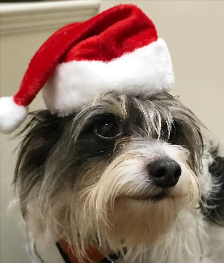 Trying on the Christmas hat Auntie Caroline sent me. I love getting pressies. 4 sleeps to go....Merry Christmas all  #christmas #xmas #pressies #dog #rescuedog #mutt #terrier #love #present #santa #london #dogsofinstagram #cute