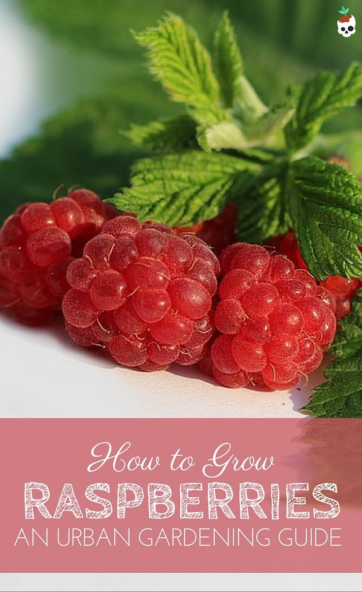 How to grow raspberries in small spaces, containers, and the urban garden. http://Lobotany.com