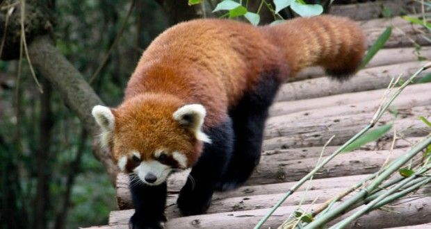 Why are Red Pandas Endangered? | Endangered Red Pandas