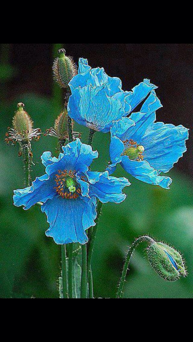 391 best Meconopsis betonicifolia and other blue poppies images on ...