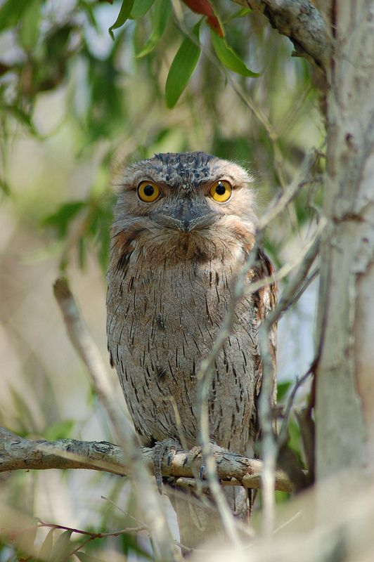 Frogmouth owl stare | by cazazz