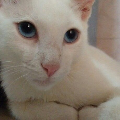 Jamas pense que existiria algo tan hermoso #gatos #blanca #ojosazules