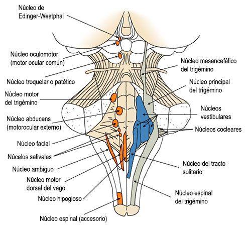 tronco-encefalico7