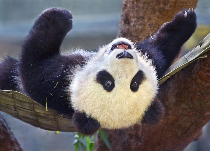 Nine month old panda cub Xiao Liwu plays in his hammock at the San Diego Zoo.