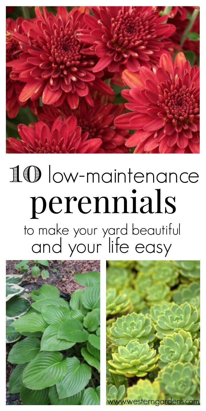 10 low maintenance perennials perennials yards and easy for Modern low maintenance plants