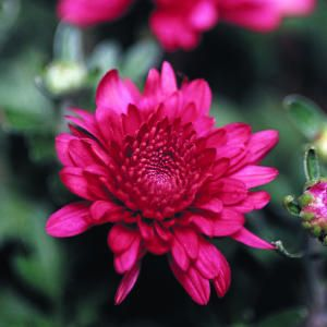 9 best plants for colorful containers | Florists' chrysanthemum | Hannaford has lovely fresh cuts for dramatic pop arrangements
