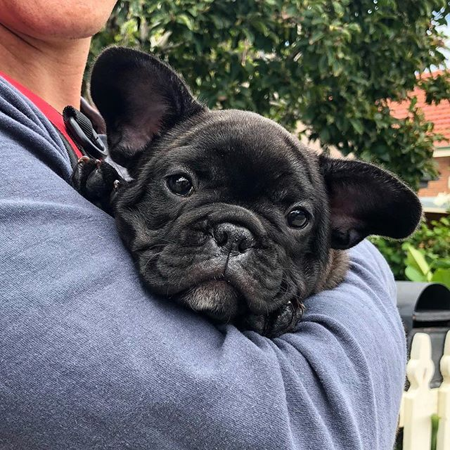 Small Little Black Muffin Frenchies 1
